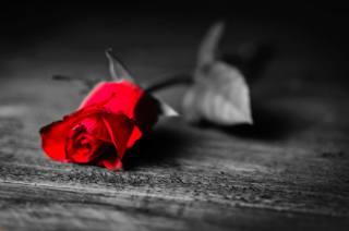 красная раза, flower, macro, Paul