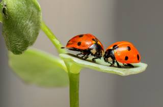 ladybugs, insects, PAIR, Love, two, nature, macro