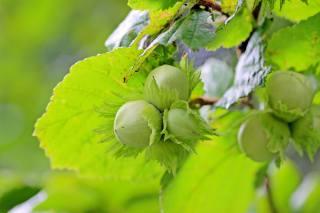 лещинные орехи, лещина, незрелые плоды, лист ореха, green