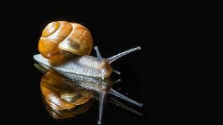 Snail, black background, macro