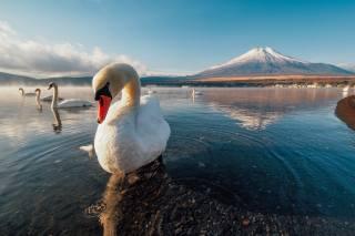 лебеди, птицы мира, природа, горы, супер фото