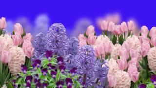 Tulipany, Hiacynty, Bratki