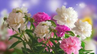 Kwiaty, Piwonie
