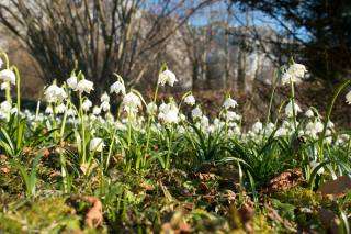 snowdrops, trees, leaves, spring, bokeh