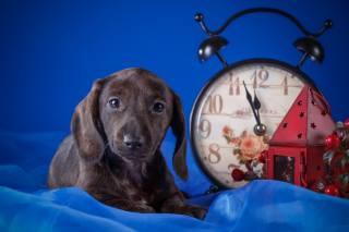 Тварина, собака, пес, тканина, годинник, ліхтар