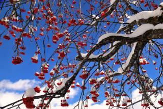 Rowan, winter, snow, branches