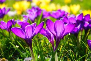 purple, crocuses, spring, flowers