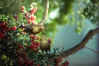 Thai Phung, nature, tree, branches, leaves, berries, birds, PAIR, feeding, caterpillar