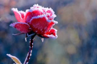 rose, macro, Blurry, snow