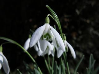 snowdrop, flower, macro, bokeh