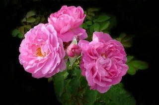 rose, leaves, background