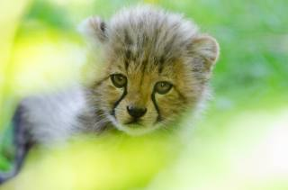 леопард, Животное, детеныш