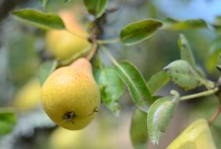 ветки, листья, плоды, фрукты, груши