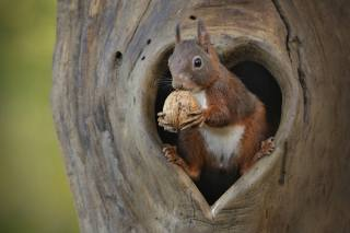 Animal, rodent, Squirrel, tree, the hollow, walnut