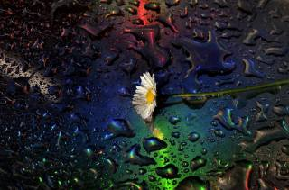 ромашка, макро, вода, краплі, Claudio Moretti