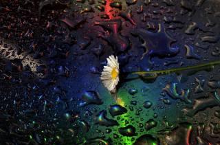 chamomile, macro, water, drops, Claudio Moretti