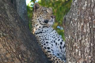 леопард, природа, дерево, хищник