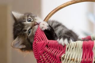 Животное, котенок, взгляд, корзина