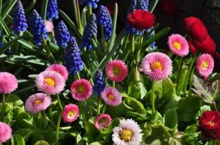 Daisy, flowers