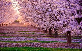 nature, spring, flowering, garden, trees, Sakura