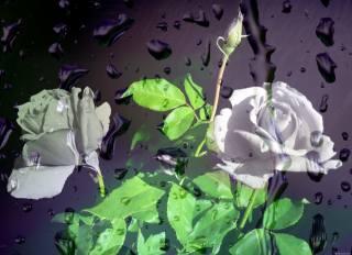 розы, капли, дождь, стекло