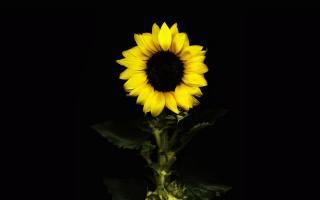 sunflower, the dark background