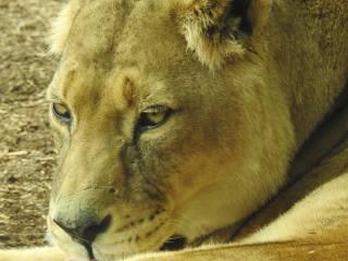 lion, muzzle, macro