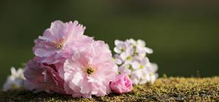 весна, квіти, вишня, сакура
