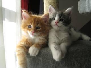 друзі, мейн-кун, кошенята, в HD