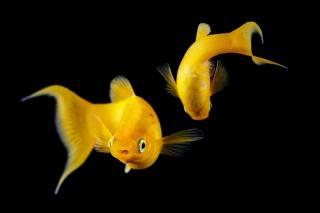 ПАРА, акваріум, золоті рибки, темний фон, в HD