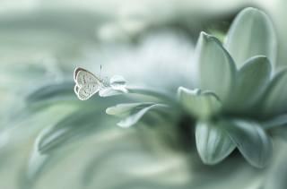 квітка, пелюстки, метелик, макро