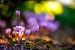 природа, весна, квіти, цикламени, боке