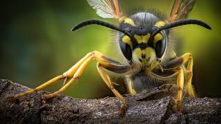 insect world, wasp, insect, macro