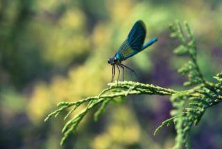 dragonfly, macro photo subject, predator