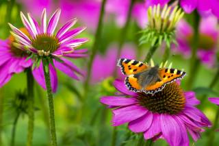 butterfly, Butterfly, small tortoiseshell, Metelik, flower, macro