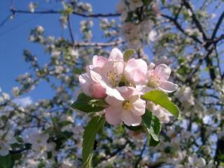 April, Apple, flowering