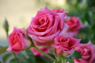 summer, flowers, rose