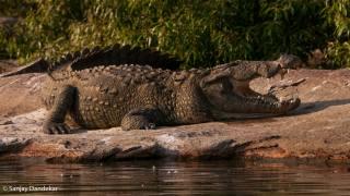 Крокодил, хижак, тварини