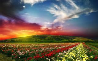 buds, flowers, petals, field, rose