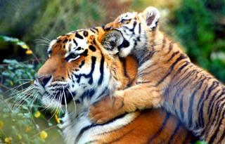 великі кішки, дитинчата, тигри, тварини