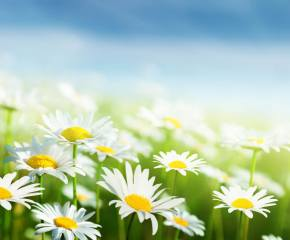 field, flowers, chamomile, the sky