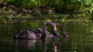 лебеді, чорні, озеро