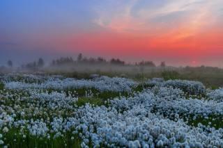 Yamal, Siberia, салехард, dawn, зорька, cottongrass, Братцева Анастасия