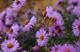 nature, autumn, flowers, chrysanthemum, butterfly