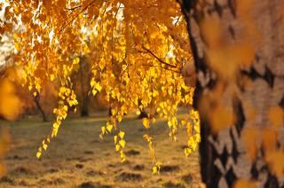 birch, branches, leaves, autumn