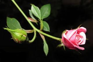 роза, листя, фон, мінімалізм
