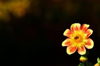 květina, георгин, včela, pozadí