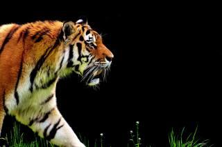 tygr, dravec, srst, krásný, nebezpečné, kočka