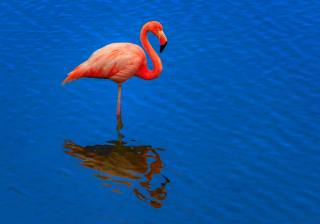 flamingo, růžová, voda, pozadí