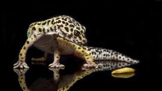 Gecko, reptile, lizard, caterpillar